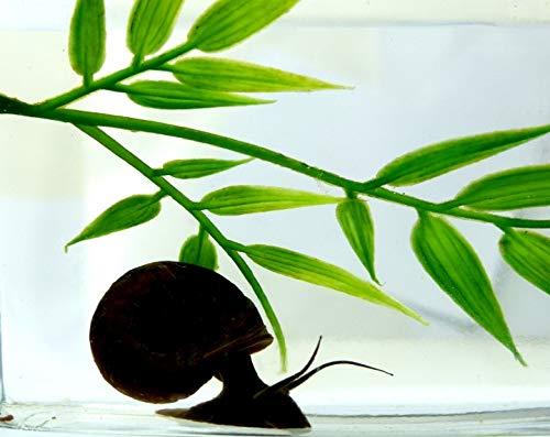 Evil Wear Aquarium-Schnecken Laubfresser schwarz Riesen Posthorn Black Snails