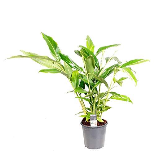 Alpinia zerumbet 'Variegata' 60-70 cm - Buntlaubiger Muschelingwer - Zimmerpflanze