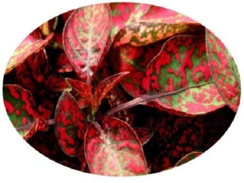25+ Hypoestes Splash Red Polka-Dot...