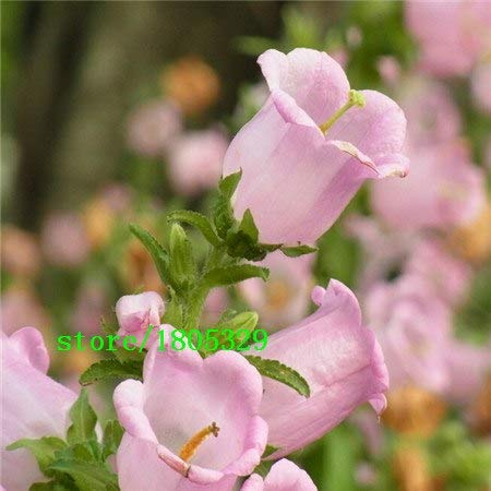 Bloom Green Co. GGG 50 pcs Lily of the Valley flower seeds, bell orchid seeds, rich aroma,bonsai flower seed, so cute and beautiful: Purple