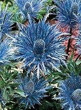 Metalic Blue Sea Holly Flower Seeds/Eryngium/Perennial 30+ Seeds