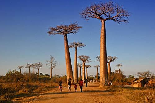 2pcs importados Semillas Semillas originales de Baobab Adansonia digitata semillas del árbol gigante de Plantas Bonsai Garden bricolaje
