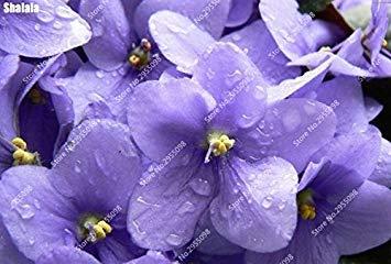 VISTARIC 23: plantes grimpantes graine rare Parthenocissus tricuspidata semences jardin plantes ornementales Quatre Saisons Fleur 60 Pcs/sac 23