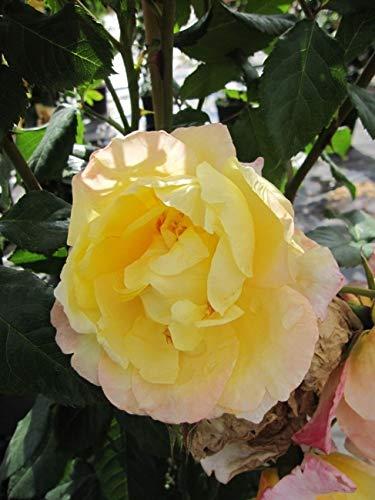 Kletterrose Moonlight® - Rosa Moonlight® - zitronengelb - Duft+ - Kordes-Rose