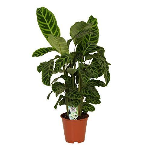 Calathea zebrina | Calathea Pflanze | Korbmarante Pflanze | Zimmerpflanze groß | Höhe 75-85 cm | Topf Ø 19 cm
