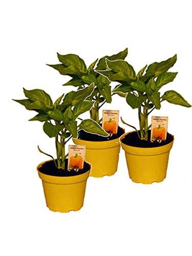 lidl paprikapflanze