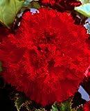 Begonia fimbriata - gefranste Begonie ' Rod ' (1)