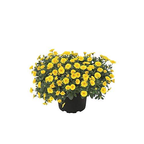 Calendula 'Powerdaisy Sunny', gelb, Ringelblume - im Topf 12 cm, in Gärtnerqualität von Blumen Eber - 12 cm