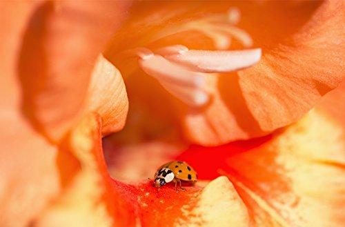 póster ladybug fabricante Posterazzi
