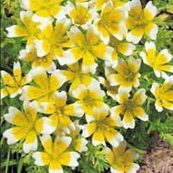 Kings Seeds Douglas-Sumpfblume / Spiegelei-Blume / Limnanthes douglasii, Blume, bebildertes Päckchen