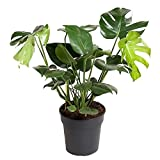 Monstera Deliciosa Planta Natural de Interior Costilla de Adán