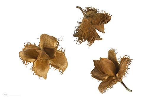 100 Samen Rotbuche -Fagus sylvatica- (Heimischer Baum - Winterhart)