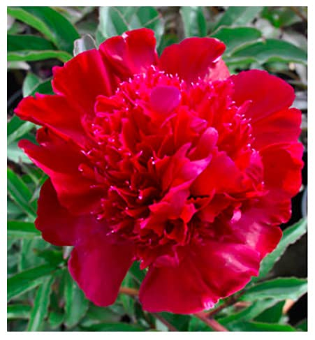 Inspector Laverne - Double Rose Red Peony Bare Root 3-5 Eyes