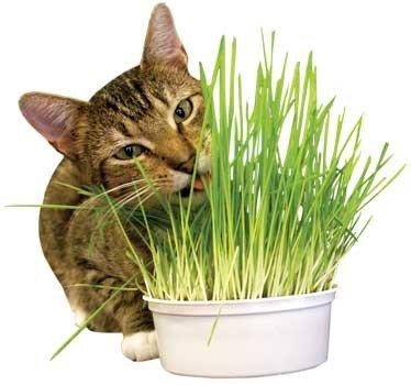 Imperial Cat 00121 pousser Easy Kit d'herbe d'avoine