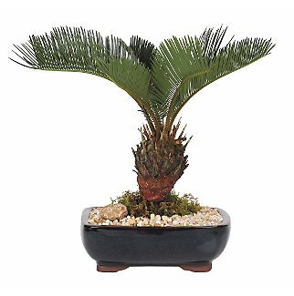 Live 8' Sago Palm Bonsai Tree