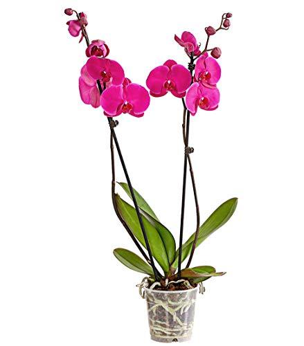 Dehner Schmetterlingsorchidee, zweitriebig, pinke Blüten, ca. 50-60 cm, Ø Topf 12 cm, Zimmerpflanze