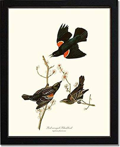 Bird Print Audubon Vintage Art: Red-winged Blackbird - Ready to Frame 5x7 8x10 11x14