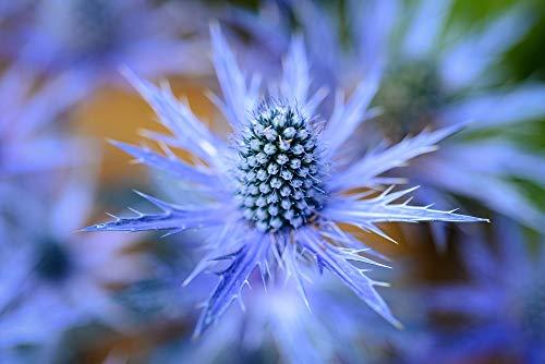 25 Blue Star Seeds to Plant Grow Sea Holly, Eryngium Flower Seeds
