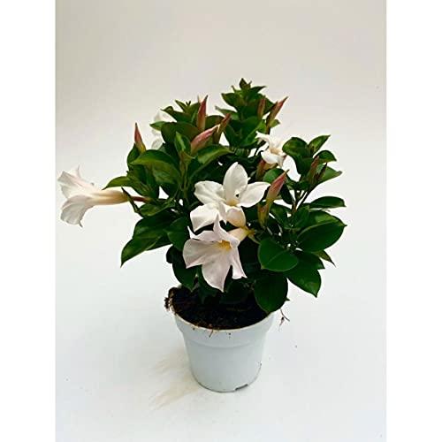 Dipladenia Sundaville, mediterrane Kletterpflanze, Weiß im 13 cm Topf