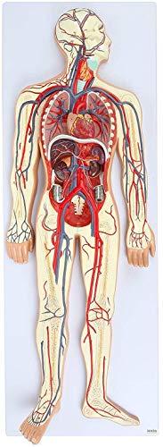 LBYLYH El Modelo del Sistema Circulatorio Humano Muestra La