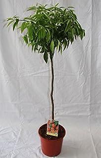 Mandarino (maceta de 15 cm Ø) - Arbol frutal vivo