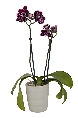 Double Stem 8-12 Tall Color Orchids Live Ceramic Pot Orchid Plant-Phalaenopsis-Easy Care Purple Blooms