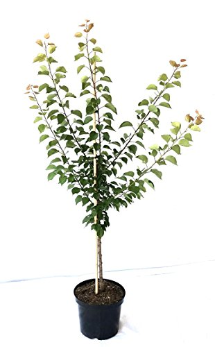 Müllers Grüner Garten Shop Kuresia (S) Aprikose scharkeresistent wertvolle Sorte Aprikosenbaum Buschbaum 150-170 cm 10 Liter Topf