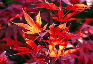 Fireglow Max 64% OFF Japanese Maple 4 Plant - Year Soldering