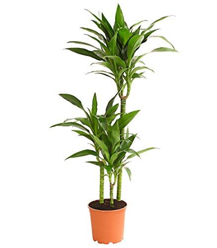 Dehner Drachenbaum Lisa, dreitriebig, ca. 110-120 cm, Ø Topf 21 cm, Zimmerpflanze