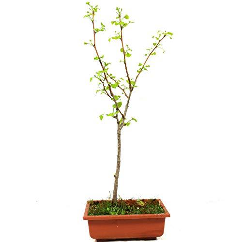 Ginkgo biloba, bonsái para exterior, 8 años, altura 48 cm