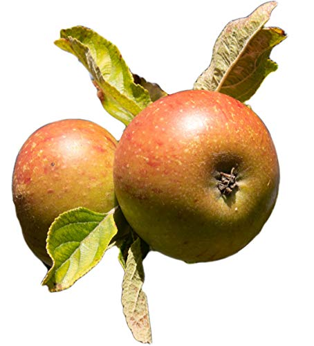 Obst & Gemüse Bio Apfel Boskoop (1 x 1000 gr)