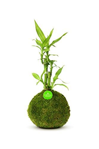 Kibonu Bamboo