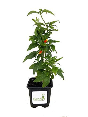 Sandys Nursery Online Manettia, Candy Corn Color Vine, 3 Inch Pot