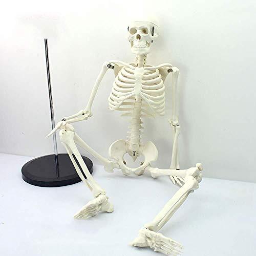 JN Modèle d'organes Humains Squelette Humain Squelette Ensemble Anatomical Scientifique 85cm Ensemble Complet du Corps Amovible Bras et Jambes Facile à Assembler modèle d'organe médical