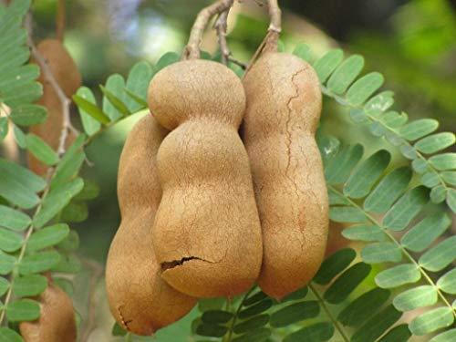Tamarindus Indica, Tamarind Tree Tropical Edible Fruit Wood Bonsai Seed jocad (15 Seeds)