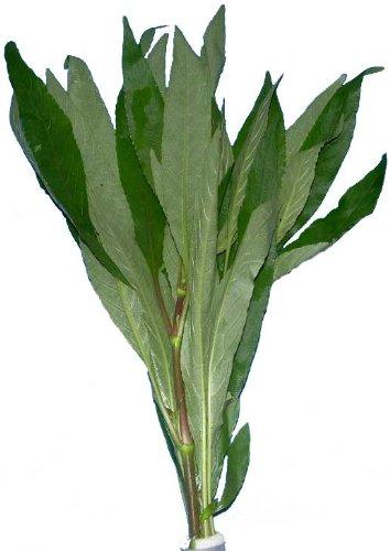 Aquariumpflanzen Hygrophila corymbosa, Kirschblatt, Wasserpflanzen
