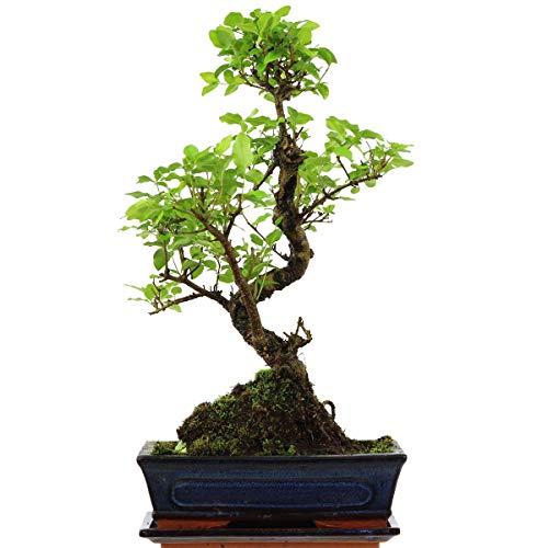 Chinesischer Liguster, Bonsai, 11 Jahre, 48cm