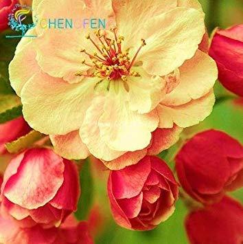 VISTARIC Qu'Afficher dans l'image: 2016 nouveau Berserk Promotion Spéciale Balcon Pot rouge Rare blanc Petunia Graines de fleurs Les plantes à fleurs 50 particules/lot