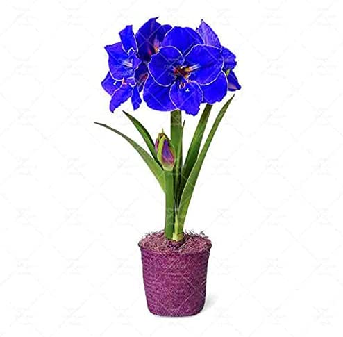 Tomeco free shipping 100PCS Zhuding Red Amaryllis Seed Plants Flowers Potted store