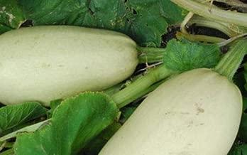 30 White Lebanese Bush Summer Squash Vegetable Seeds