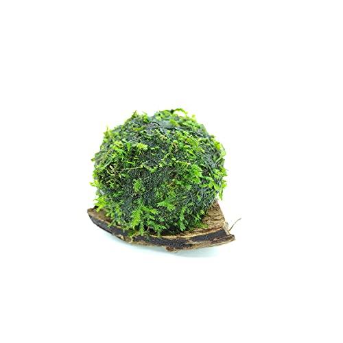 Generic PlantMyTank Wabi Kusa Balle de mousse pour aquarium qui pousse au-dessus de l'eau et pousse sous l'eau pour créer un environnement sain, un entretien suffisant
