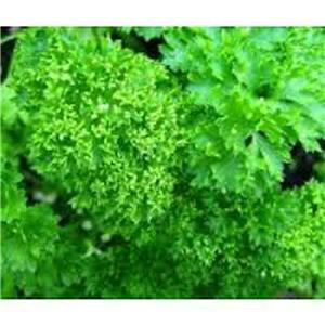 Persil, Frisé mousse Graine Parsely, biologique, sans OGM, 25 graines par paquet.