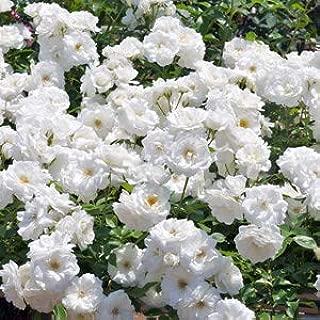 Modern Plants Live Climbing Rose Iceberg Flower Plant With Pot