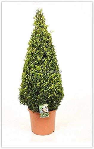 Buchsbaum Formschnitt - Buxus sempervirens - Kegel/Pyramide - verschiedene Größen (110-120cm - Topf Ø 35cm - Pflanzhöhe 90-100cm)