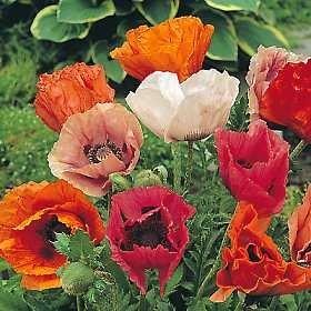 Papaver orientale Türkischer Riesenmohn Pizzicato Samen (50) Poppy Pizzicato