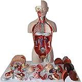 Modèle éducatif 85Cm amphotère Torse Humain modèle Anatomique Anatomie Organes internes modèles pour ressources pédagogiques, détachable 27 pièces