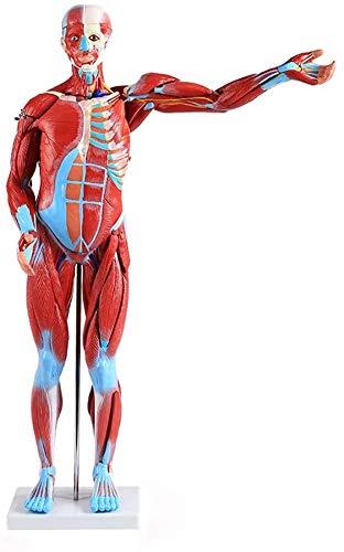 LBYLYH Modell Menschliches Skelett mit Muskeln, Modell für Anatomie, Menschliches Skelett-Modell, Modell Büste, PVC, handgemaltes Medizinisches Gerät,Menschlicher Muskel Modell,80cm