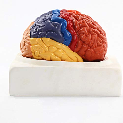 ZJM Human Anatomy-Gehirn-Modell, 2-Teiliges Zerlegte Menschliche Gehirnmodell Mit Farbigen Und Markierten Regionen, Medizinisches Lernwerkzeug, Eingerichtet, Beinhaltet Die Basis