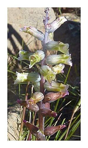 Lachenalia obscura - Hyazinthe - 10 Samen