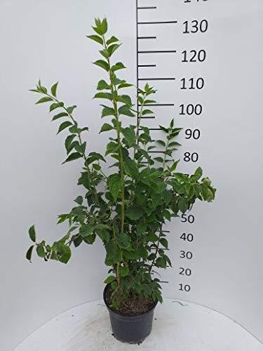 Späth Duftend.Bauernjasmin LH 60-100 cm im 3 Liter Topf Zierstrauch weiß blühend Gartenpflanze schnellwachsend
